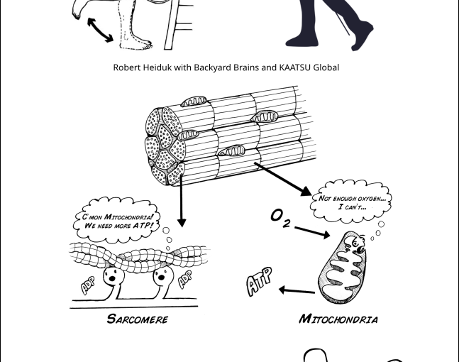 Wie KAATSU den molekularen Muskelmotor ermüdet